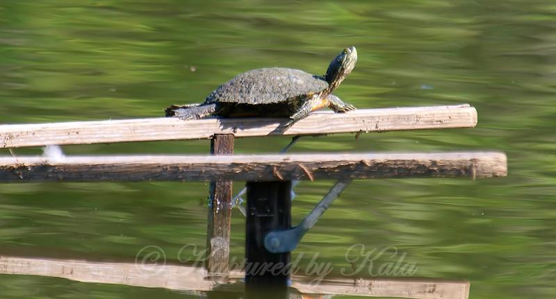 Turtles Can Climb