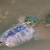 Red-eared Slider Mating Behavior 16