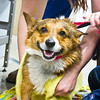 Animals>Pembroke Welsh Corgi smiling at annual dogwash at DMACC in Ankeny