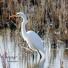 Egret at Oak Hammock Marsh