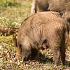 Wild Boar 12