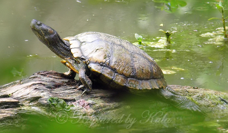 Deep Woods Turtle