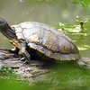 Deep Woods Turtle