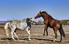 Horses Fighting