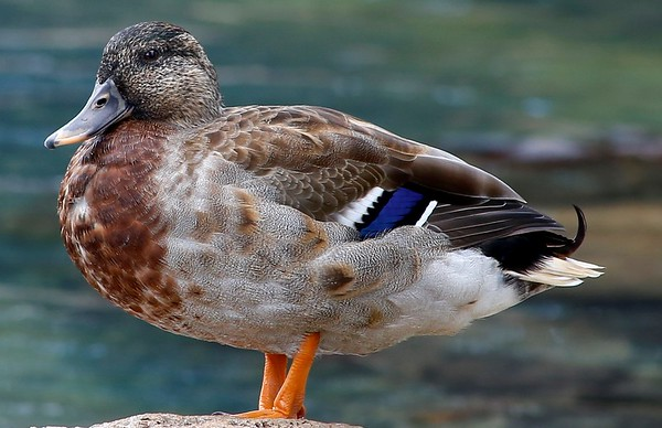 The Duck v2