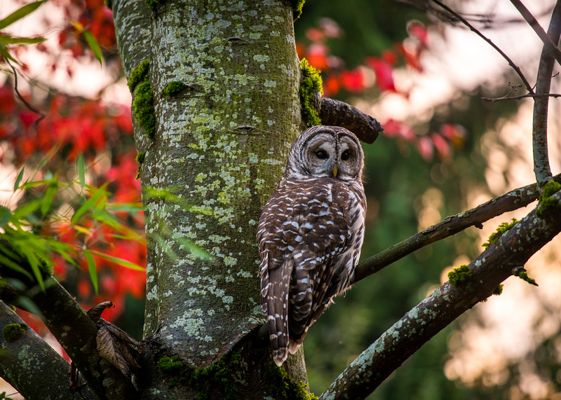 northwest-barred-owl