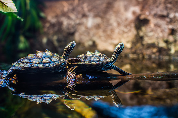Black Knobbed Map Turtles