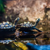 Black Knobbed Map Turtles