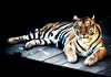 Velvet Tiger