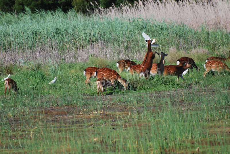 Sika Deer and Cattle Egret