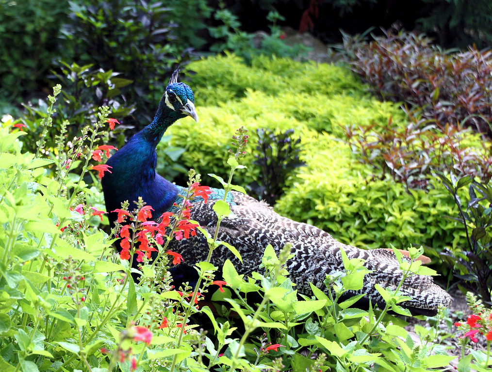 Peacock in the Garden