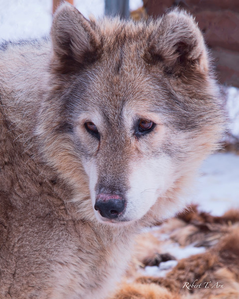 Portrait of a Wolf Number Six