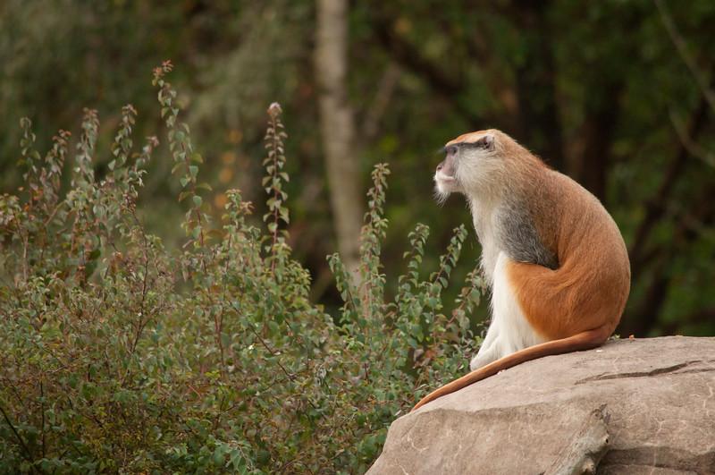 Male Patas Monkey (Erythrocebus patas)