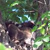 The Raccoon Tree