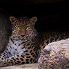 Leopard in the rocks