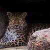 Leopard in the rocks