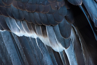 Condor Feathers