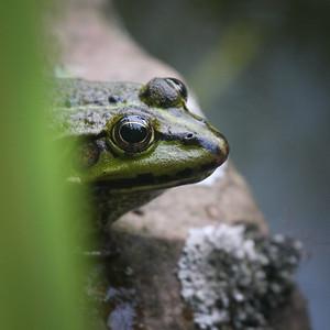 Inquisitive garden frog