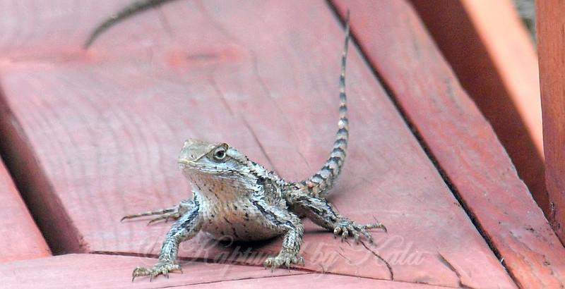 Feisty Lizard
