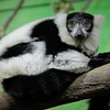 looking Lemur