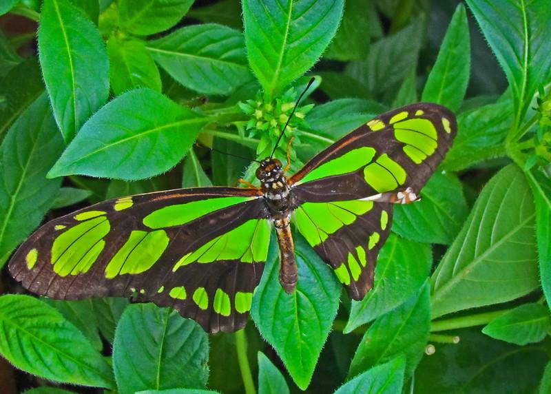 Butterfly. Key West, FL 2012