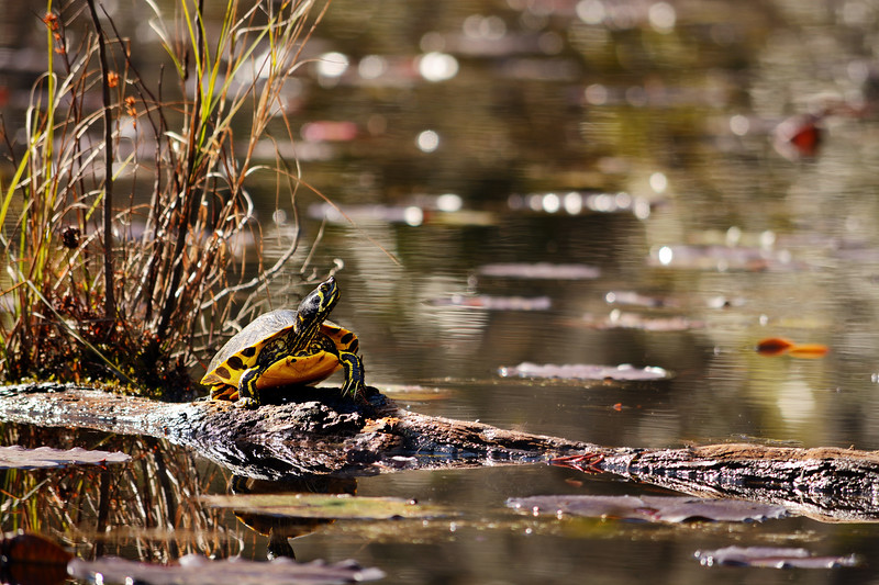 Yellow-Bellied Slider Turtle.