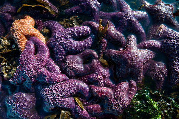 Orange and purple Ochre sea stars (Pisaster ochraceus)