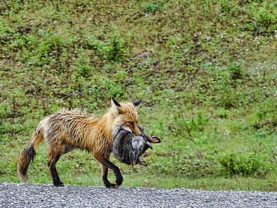 Red Fox, Alaska