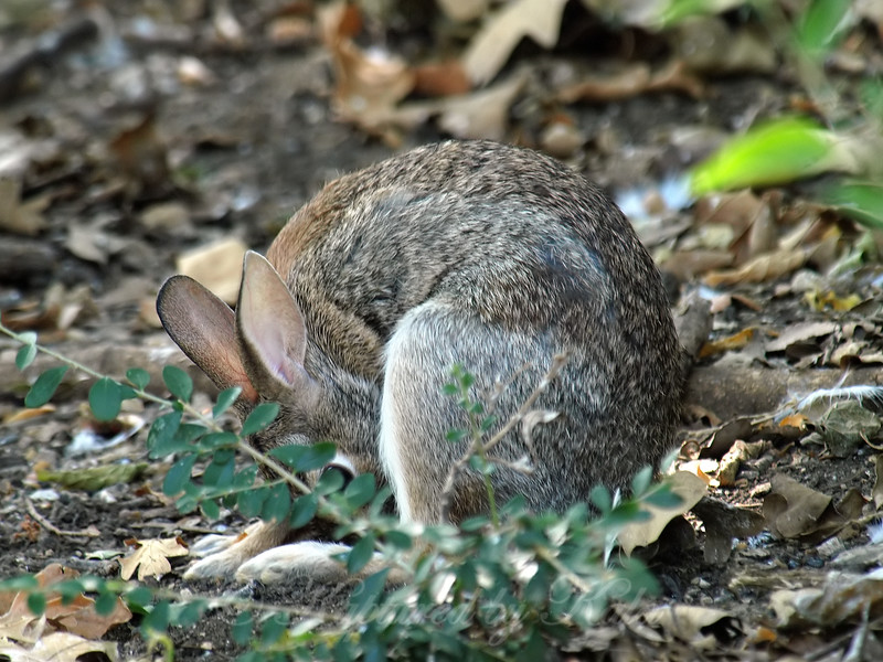 Possibly Near To Time For Baby Bunnies