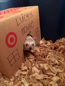 Hedgehog sitting.