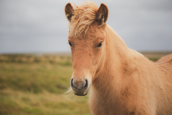 Portait of an Icelandic Horse