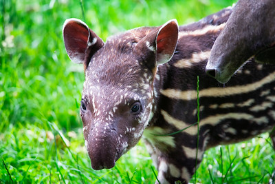 Baby of the endangered South American tapir