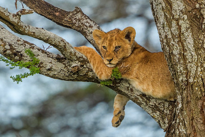 Lion cub resting in a tree