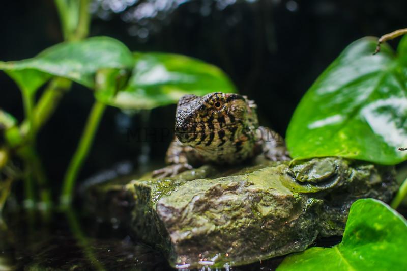 Female Chinese Crocodile Lizard