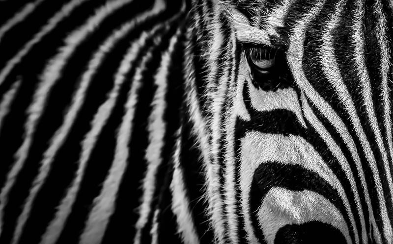 Zebra in Zoo