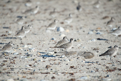 Snowy Plover Migration