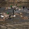 121417 Ducks and Geese - Davis and Laurel - Salinas 048 5x7L