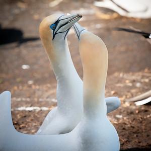 Gannet Love || Muriwai Beach