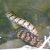 Diamondback Water Snake Mating Behavior 7