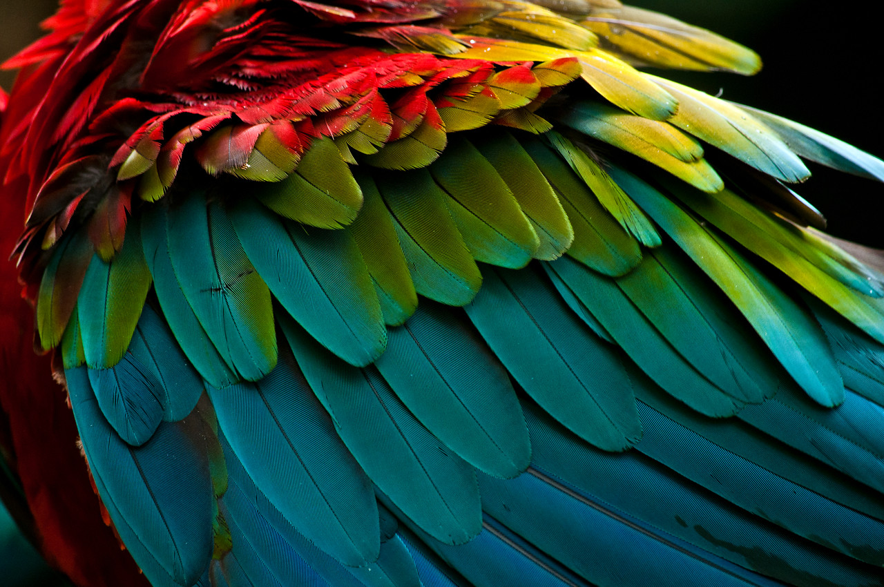 Scarlet Macaw (Ara macao) feathers