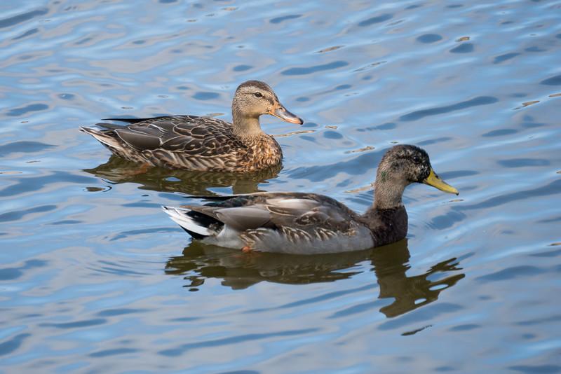 092016 Mallard Duck - Davis and Laurel - Salinas 010 4x6L