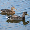 092016 Mallard Duck - Davis and Laurel - Salinas 010 4x6L