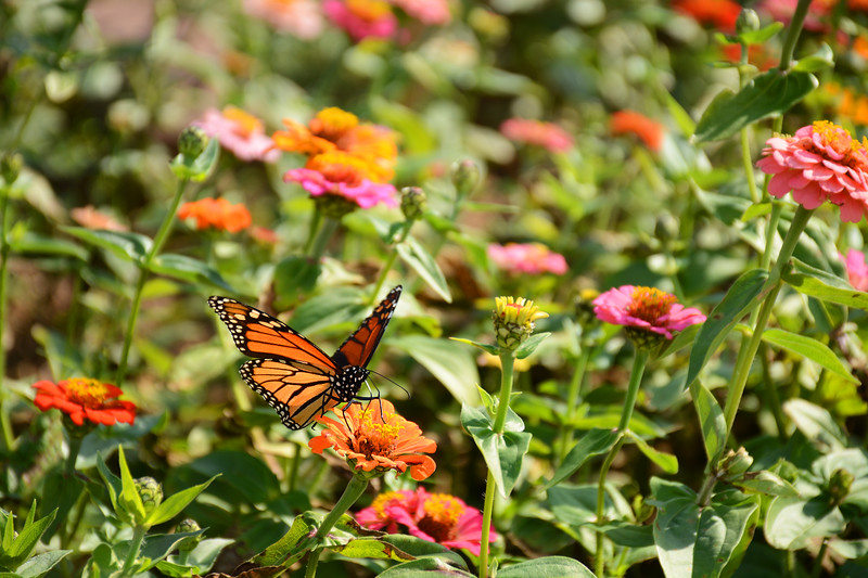 Monarch butterfly drinking nectar from zinnia flower