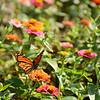 Monarch butterfly drinking nectar from zinnia flower