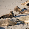 062516 Seal - Point Cabrillo - Pacific Grove 002