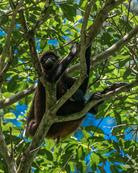 A mourning spider monkey