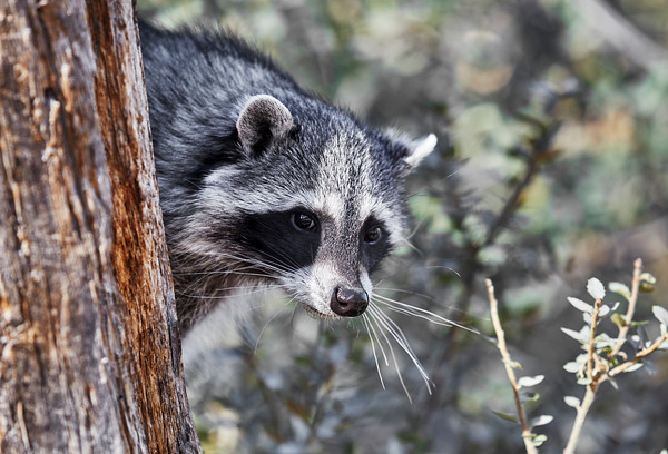 Bandit Masked Raccoon looking out from behind a Tree Trunk