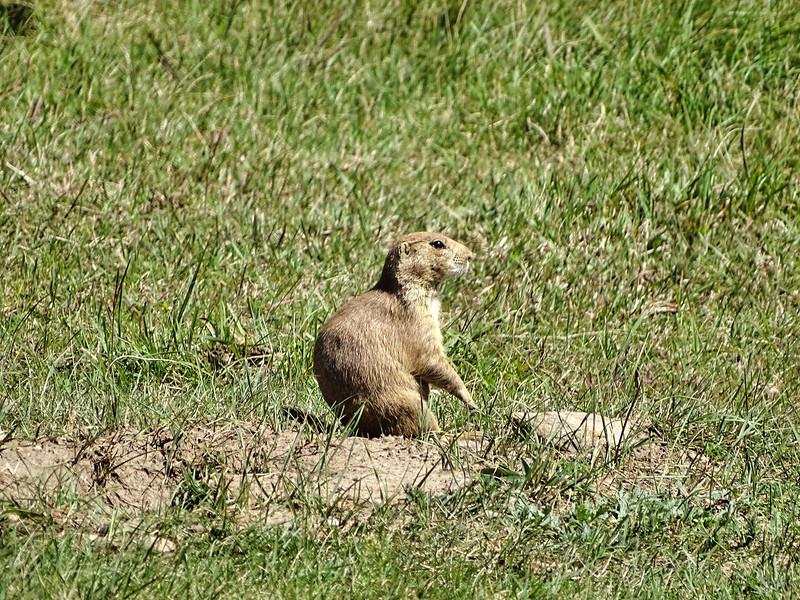 Prairie Dog Custer State Park, SD