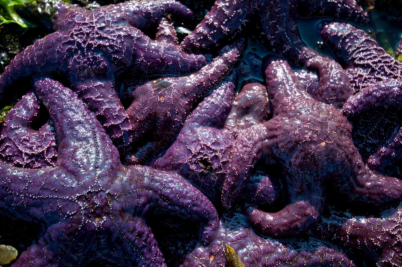 Ochre sea stars (Pisaster ochraceus)