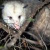Grumpy Possum